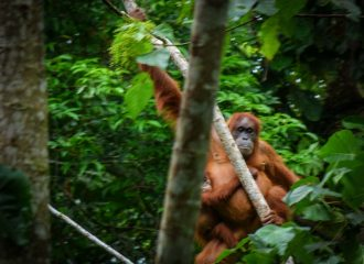 Best activity in Indonesia: Orangutan tour in Sumatra - this unique experience counts to my personal Top 10 things to do in Southeast Asia